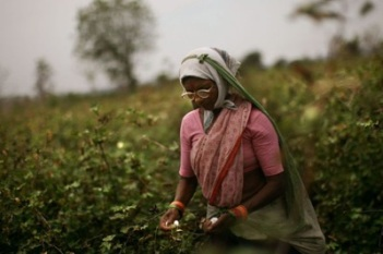 (ISRAEL OUT) A worker collects cotton buds in a field on April, 08, 2008 in the village of Sunna in the Vidarbha region of Maharashtra state, India. A wave of farmers'