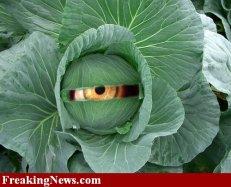Cabbage-Eye-