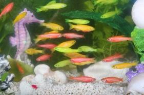 το ψάρι Ζέβρα, μετά τη γενετική τροποποίηση
